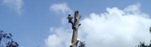 Man trimming branches of a tree with a chainsaw
