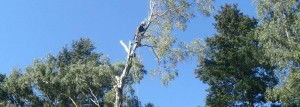 Man trimming branches high up in a tree