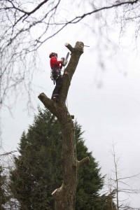 Man with a chainsaw trimming branches