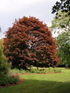 Picture of big red tree
