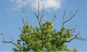 Picture of a tree with ash die back disease